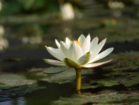 Lotus-Flower-in-Water-199x150 The Lotus Flower